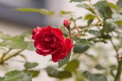 GBV_Kingsclub-Garden-Roses_Web