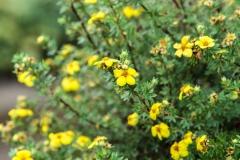 GBV_Kingsclub-Garden-Yellow-bush_Web