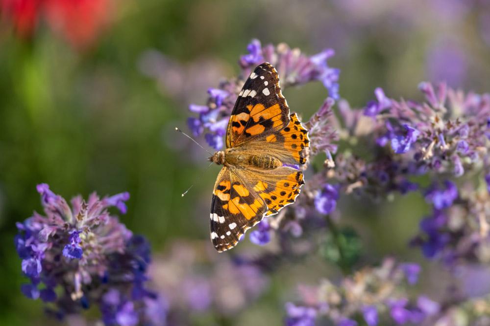 Butterfly landing on flowers in Inverness garden