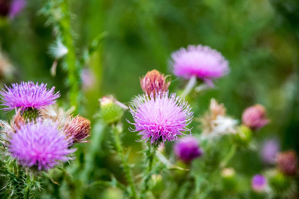 Pink Scottish thistles in spring