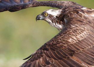 Osprey mid flight in Scotland