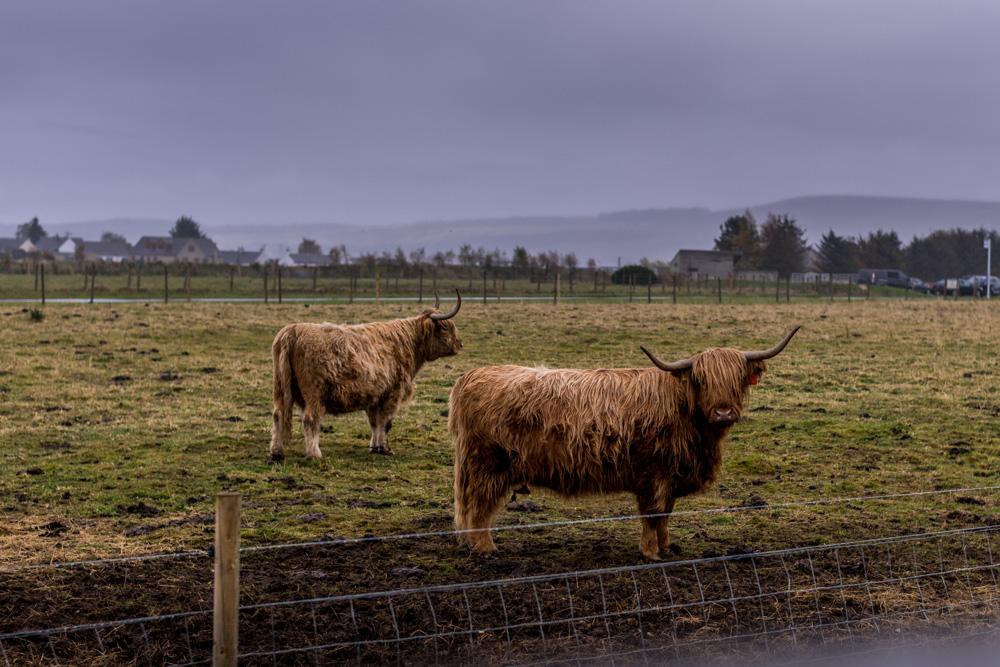 Highland cows on Culloden Battlefield near Inverness